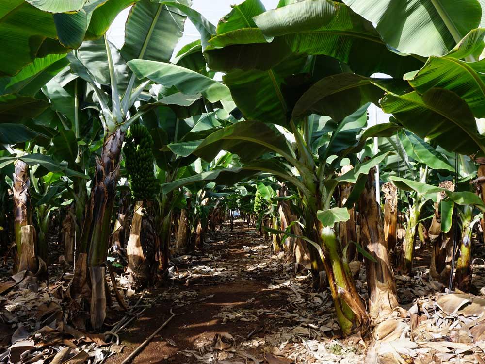 bananenplantage teneriffa